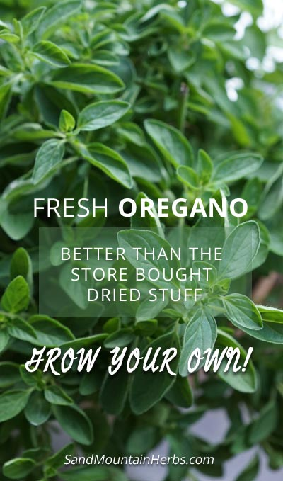 grow oregano from seed