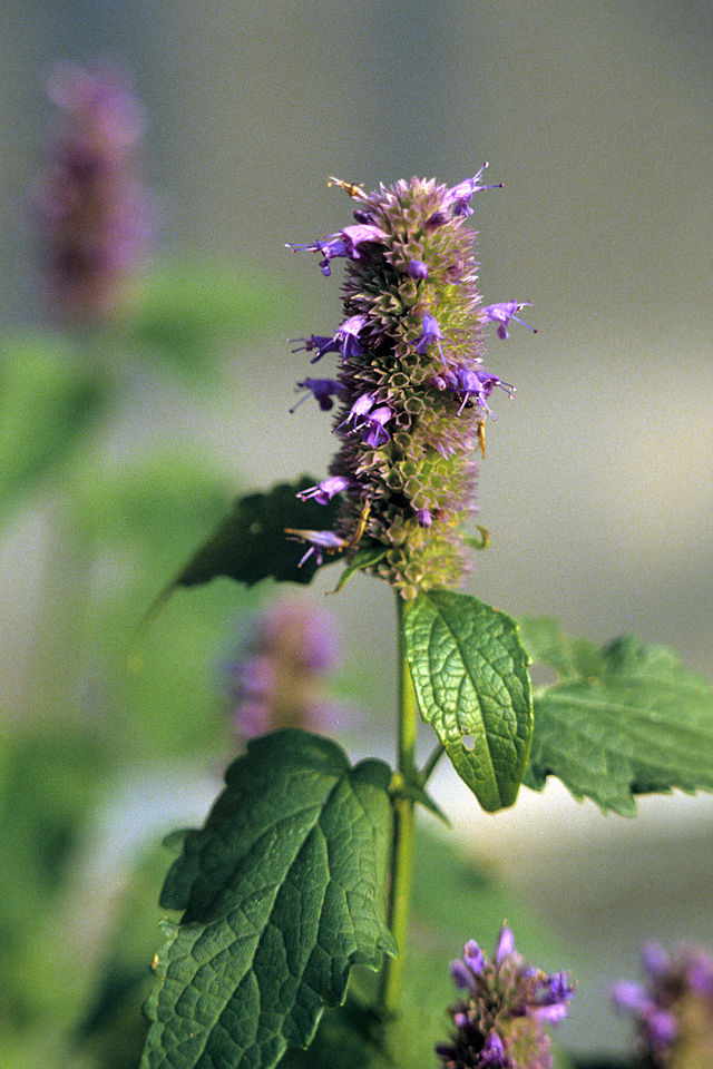 Medicinal Uses of Agastache foeniculum, Anise Hyssop